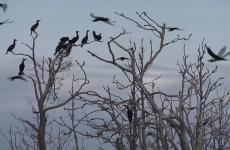 Skarvar i Malax skärgård - Vimeo thumbnail